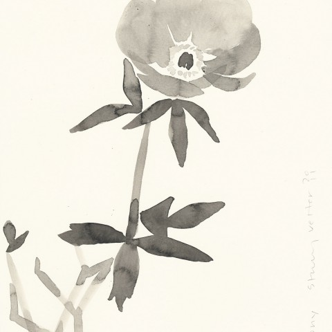Stacey Vetter - <b>Peony</b>, ink on paper, 10 x 8 inches